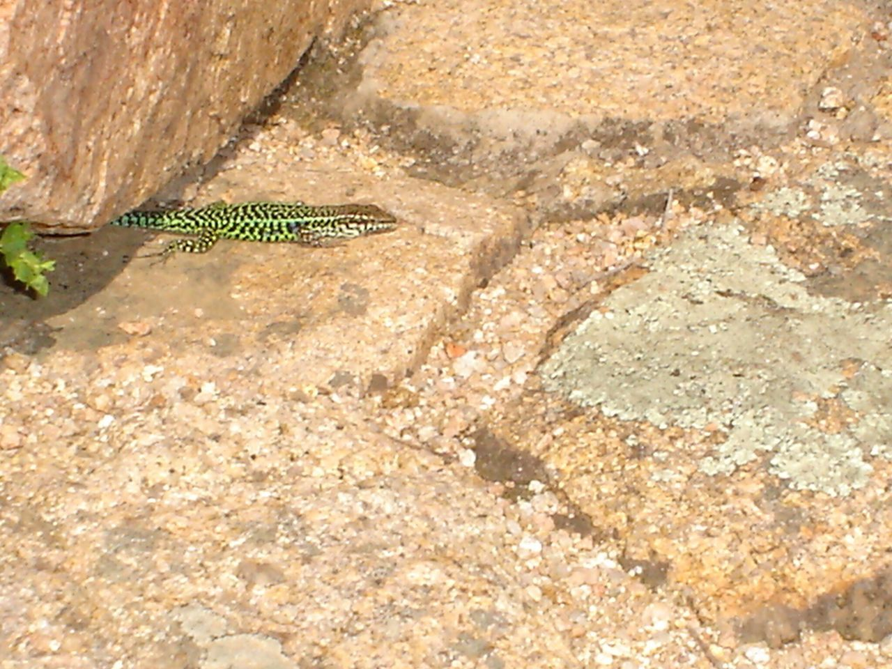 Italy Sardegna Sardinia Lizard Animal Themes One Animal Lizard Animals In The Wild Caterpillar Close-up Zoology Nature Crawling Outdoors Day Botany Green Color Rock Tranquility No People Fragility