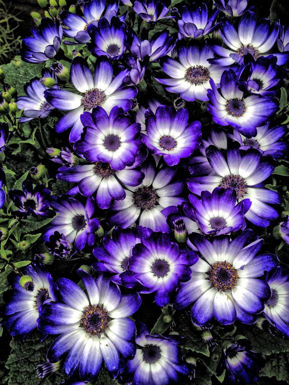 Cineraria flowers Beauty In Nature Blooming Blossom Blue Botany Cineraria Close-up Flower Flower Head Flowers Freshness Growth In Bloom Nature Outdoors Petal Plant Purple