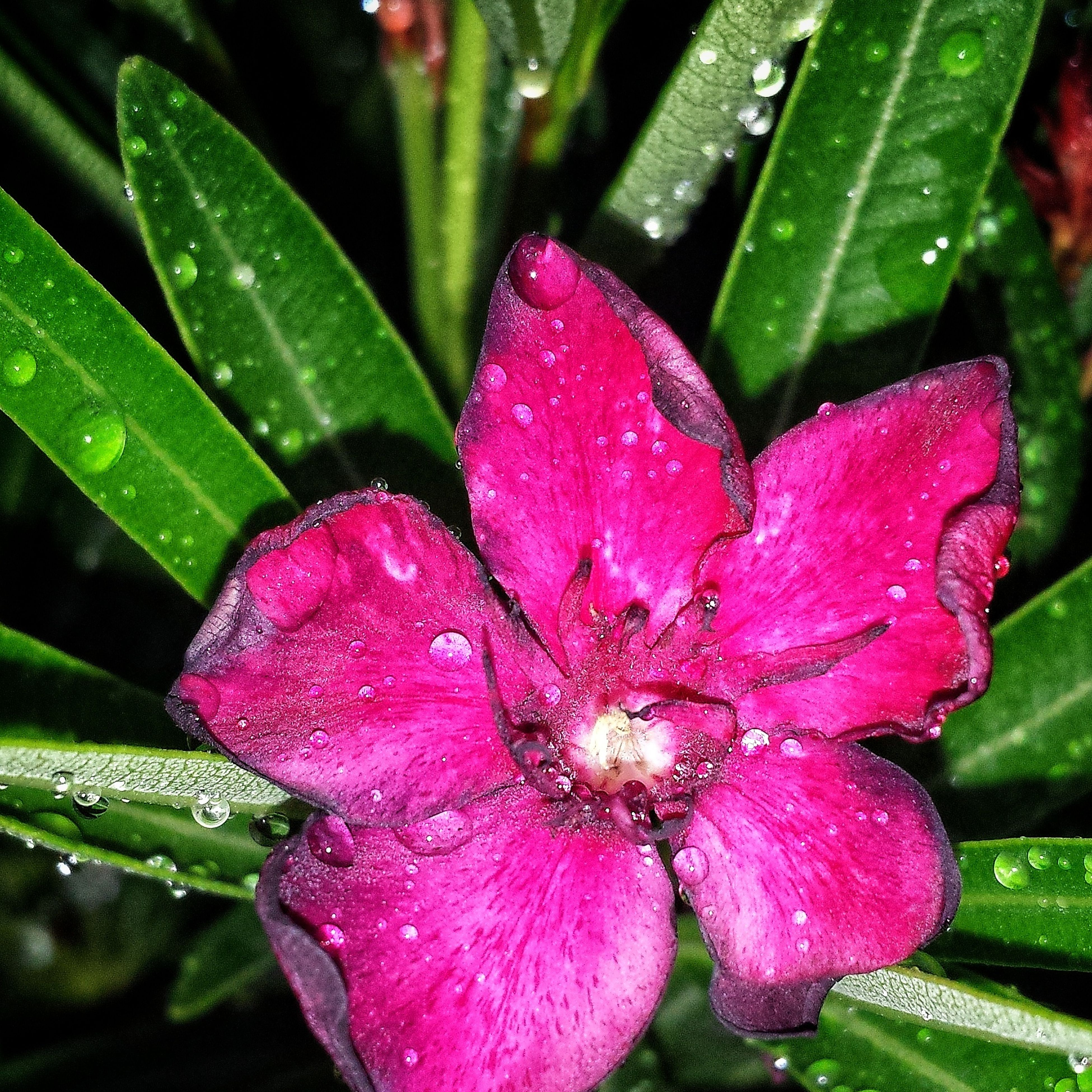 flower, growth, wet, drop, nature, beauty in nature, fragility, petal, water, plant, freshness, flower head, leaf, close-up, raindrop, green color, day, no people, outdoors, pink color, blooming, petunia