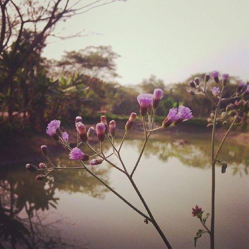 Snap Flower Beautiful Bangladesh BeautifulBANGLADESH