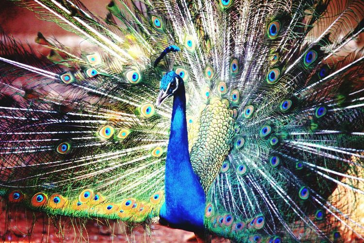Dancing peacock Peacock Feather  Fanned Out Multi Colored Male Animal Beauty Bird Dancing Majestic Close-up Blue Animal Themes Full Frame Natural Pattern Showing Spreading Peacock Feather Pride Zoology Beauty In Nature