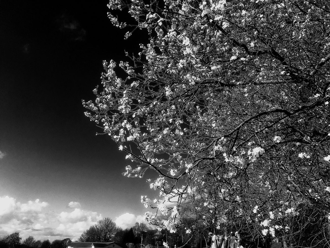Early blossom showing on a tree at Little Eaton park, Derbyshire Bw Documentary Photography