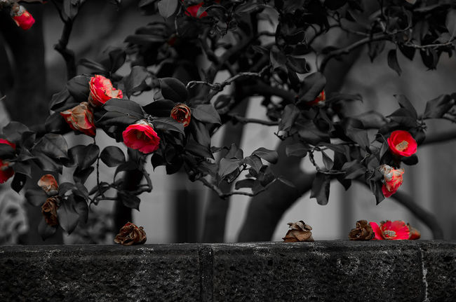 Beauty Of Decay Camellia Flower Flower Head Focus On Foreground Nature Selective Focus