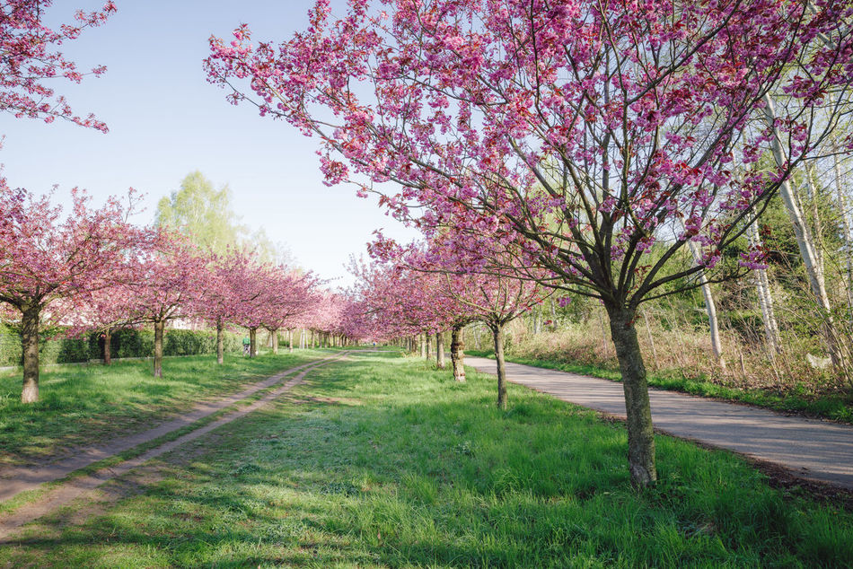 pink japanese cherry tree blossoms against blue sky Almond Tree Beauty In Nature Blossom Blue Sky Branch Cherry Blossom Cherry Tree Copy Space Day Flower Green Grass Growth Japanese Cherry Blossom Tree Japanese Cherry Blossoms Japanese Cherry Tree. Nature No People Orchard Pink Blossoms Spring Spring 2017 Spring Flowers Springtime Tranquility Tree