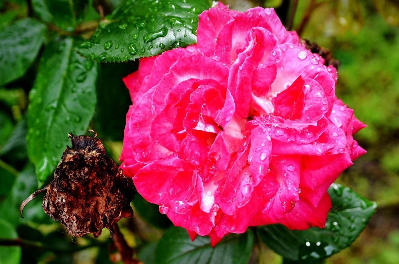 Flower Beauty Ugly Goodandbad Dying Flowers Died Beautiful Contrast Otherside Bestandworst Art Is Everywhere Eyemnaturelover Pink Color Flower Head Rose🌹 Raindrops Close-up Gardenphotography Naturephotography Eyeemphotography Capture The Moment From My Point Of View Nature On Your Doorstep Rose - Flower Roses🌹