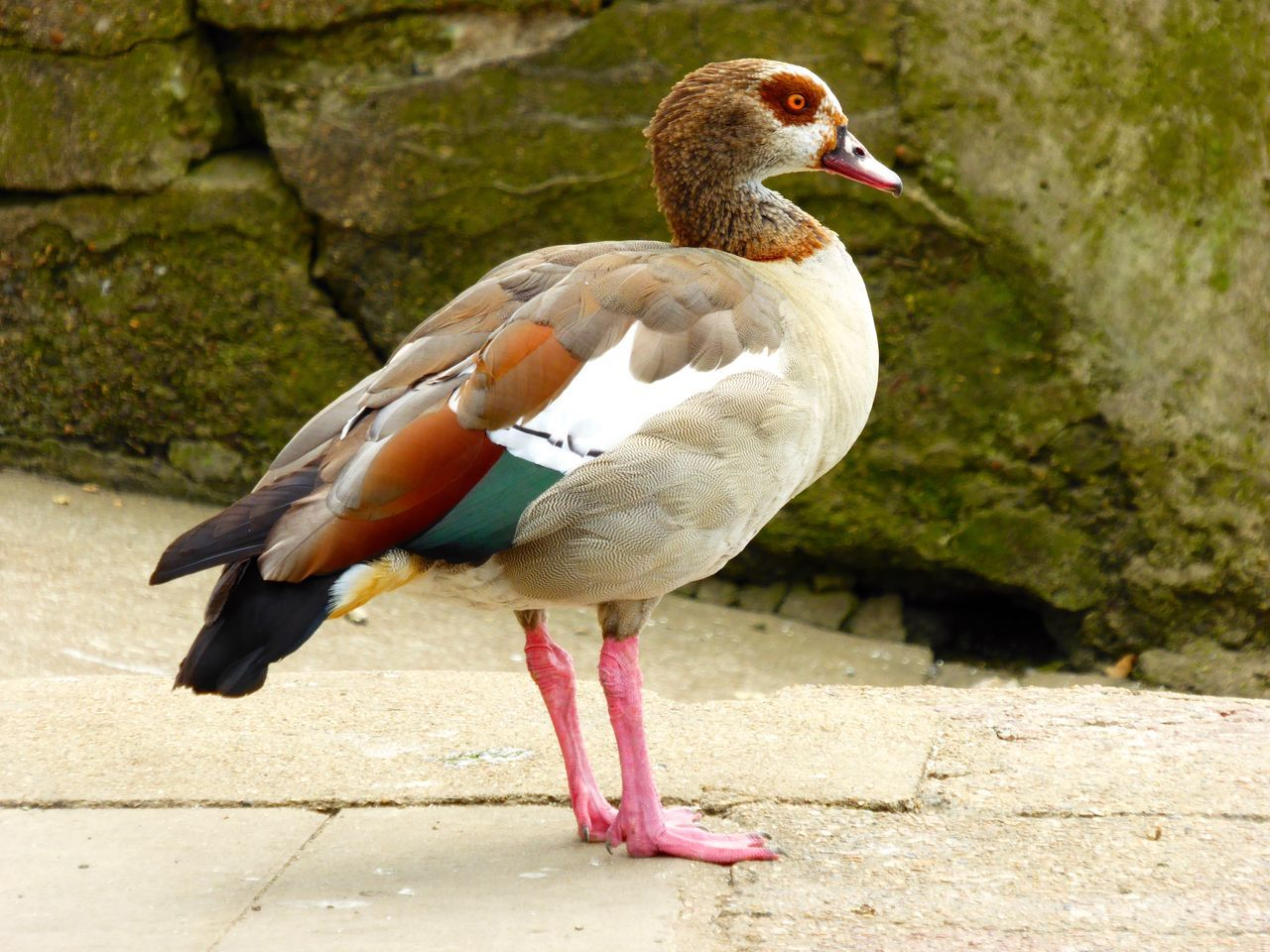 Goose Nature Bird Birds Geese Family Egyptian Goose Egyptian Geese Gooses Geese Water Bird London Thames Thames Thamesriver Thames River Wildlife Wildlife & Nature Wildlife Photography Bird Photography Birds_collection Birdwatching