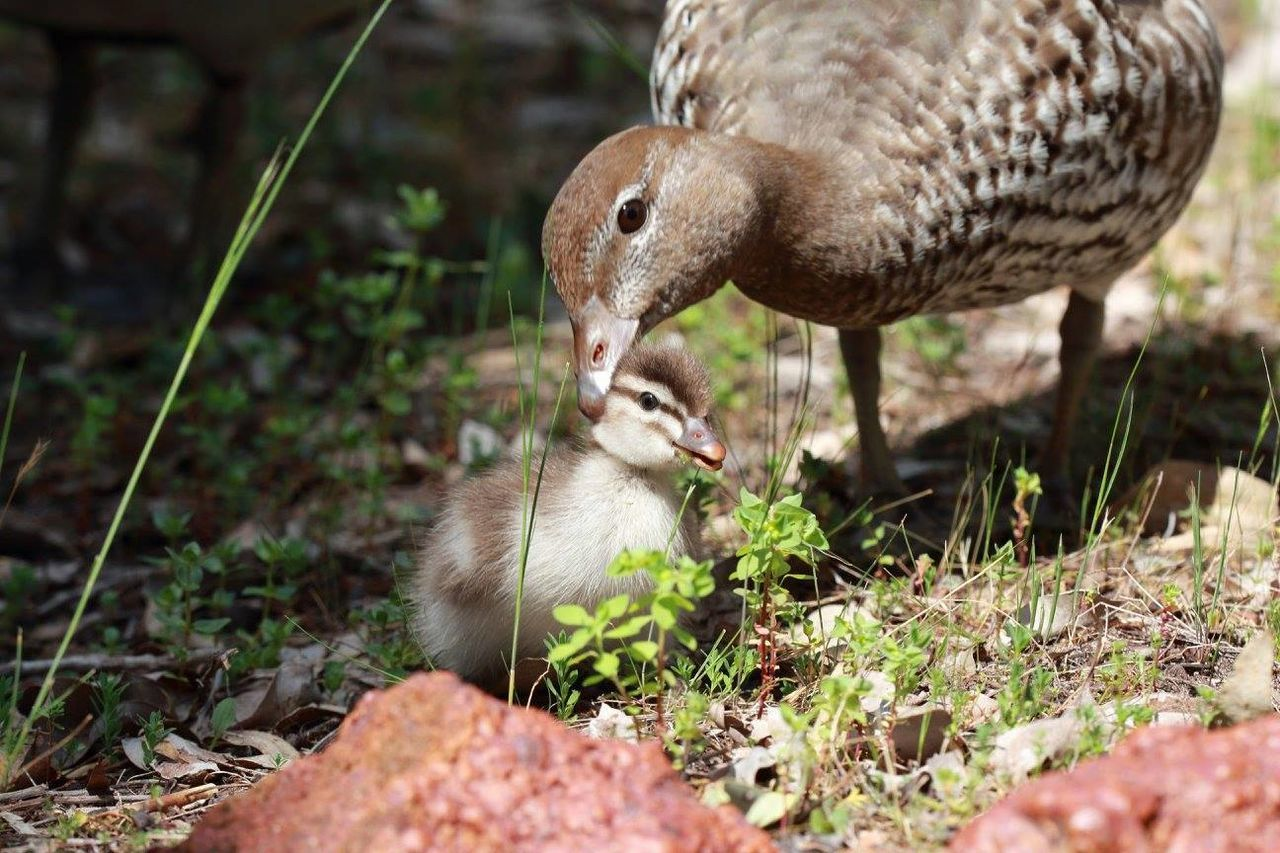 Not so ugly little duckling Animal Themes Grass Brown Nature Outdoors Duckling Mother And Baby Duck Family
