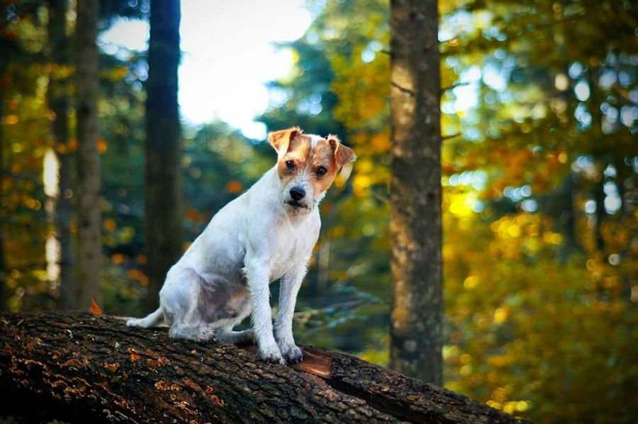 Parson Russell Terrier Terrier Dog Dog Portrait Canine Photography Animal Photography Forest Walk In The Woods My Dog Is A Model