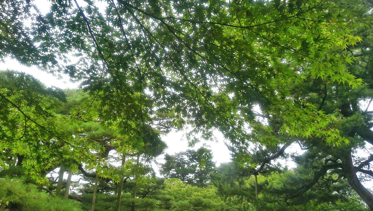 tree, nature, low angle view, growth, green color, beauty in nature, day, tranquility, forest, branch, outdoors, tranquil scene, no people, scenics, leaf, sky