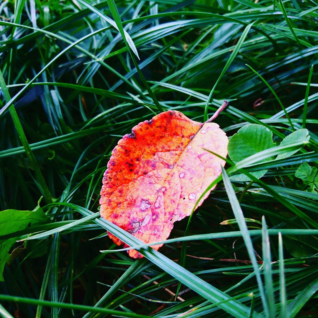leaf, grass, change, nature, outdoors, autumn, day, green color, no people, growth, close-up, beauty in nature, field, fragility, plant, freshness, maple