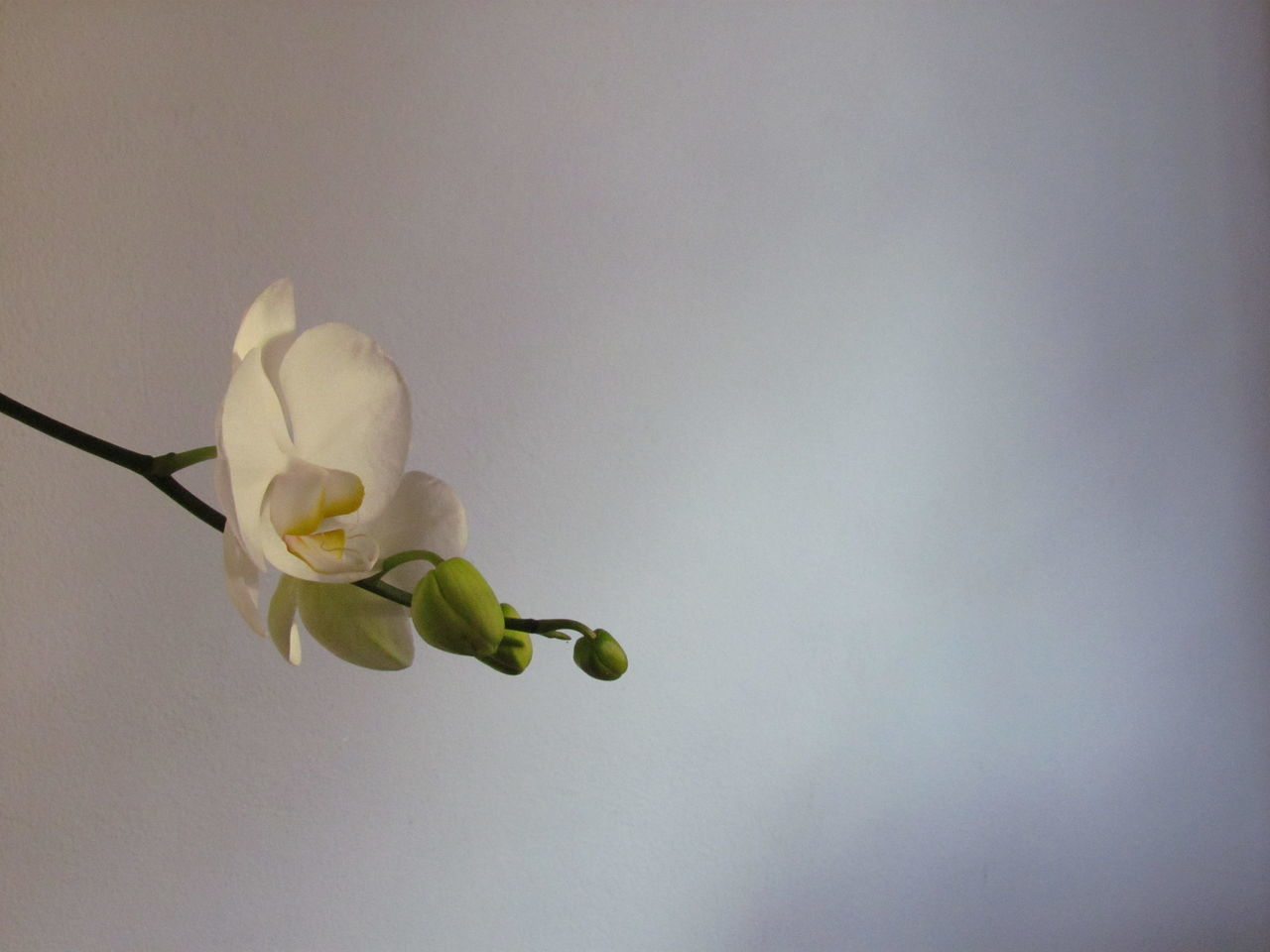 No People Nature Day Indoors  Eyeemphotography Orchids Collection Orchid Petal Orchids Photography EyeEm Gallery Nature_collection Outdoors Plant Nature Fragility Flower Kikosene EyeEm Gallery Flower Head Beauty In Nature Close-up Phalaenopsis Nature's Tranquil Scene Scenics