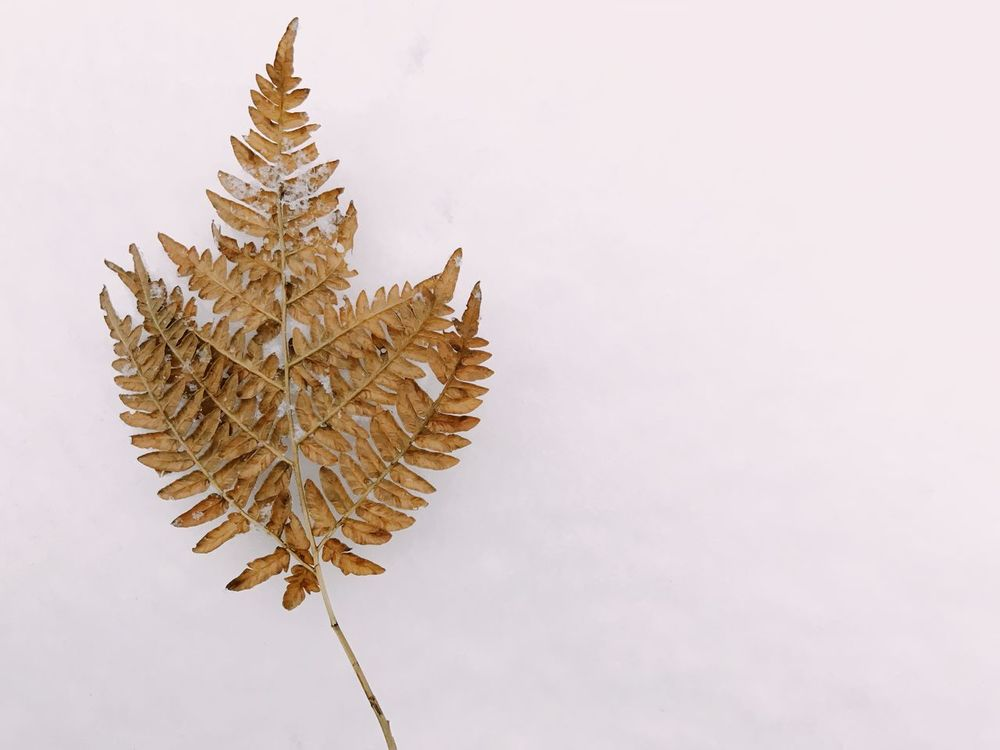 Frozen fern in the snow Copy Space Open Space Snow Winter Leaf Fern White Background Studio Shot Copy Space Christmas Tree No People Christmas Tree Nature Outdoors Freshness Close-up