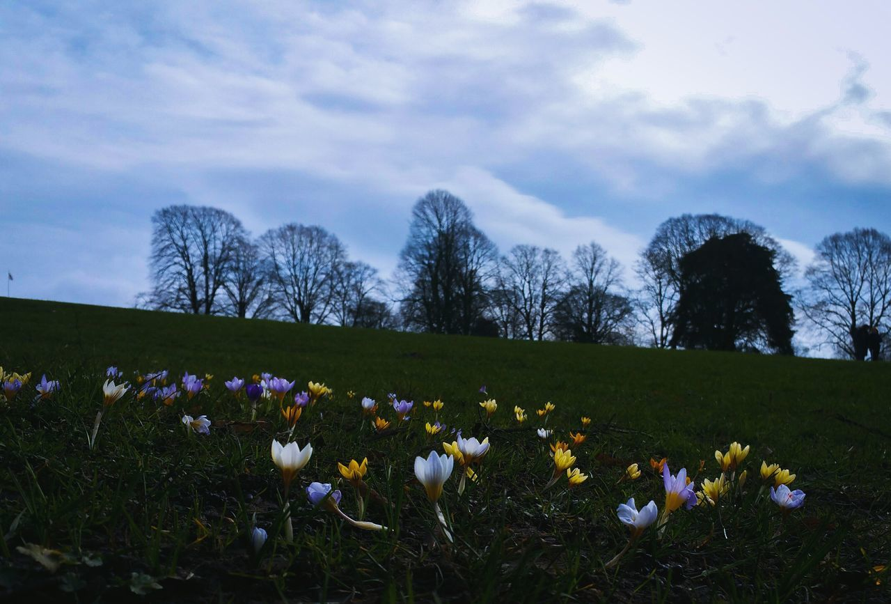 Flower Growth Plant Sky Blossom Tree Field Freshness No People Outdoors Landscape Beauty In Nature Fragility Day Nature Crocuses Park Britain England Grass Lawn Spring Spring Flowers Crocus Flores