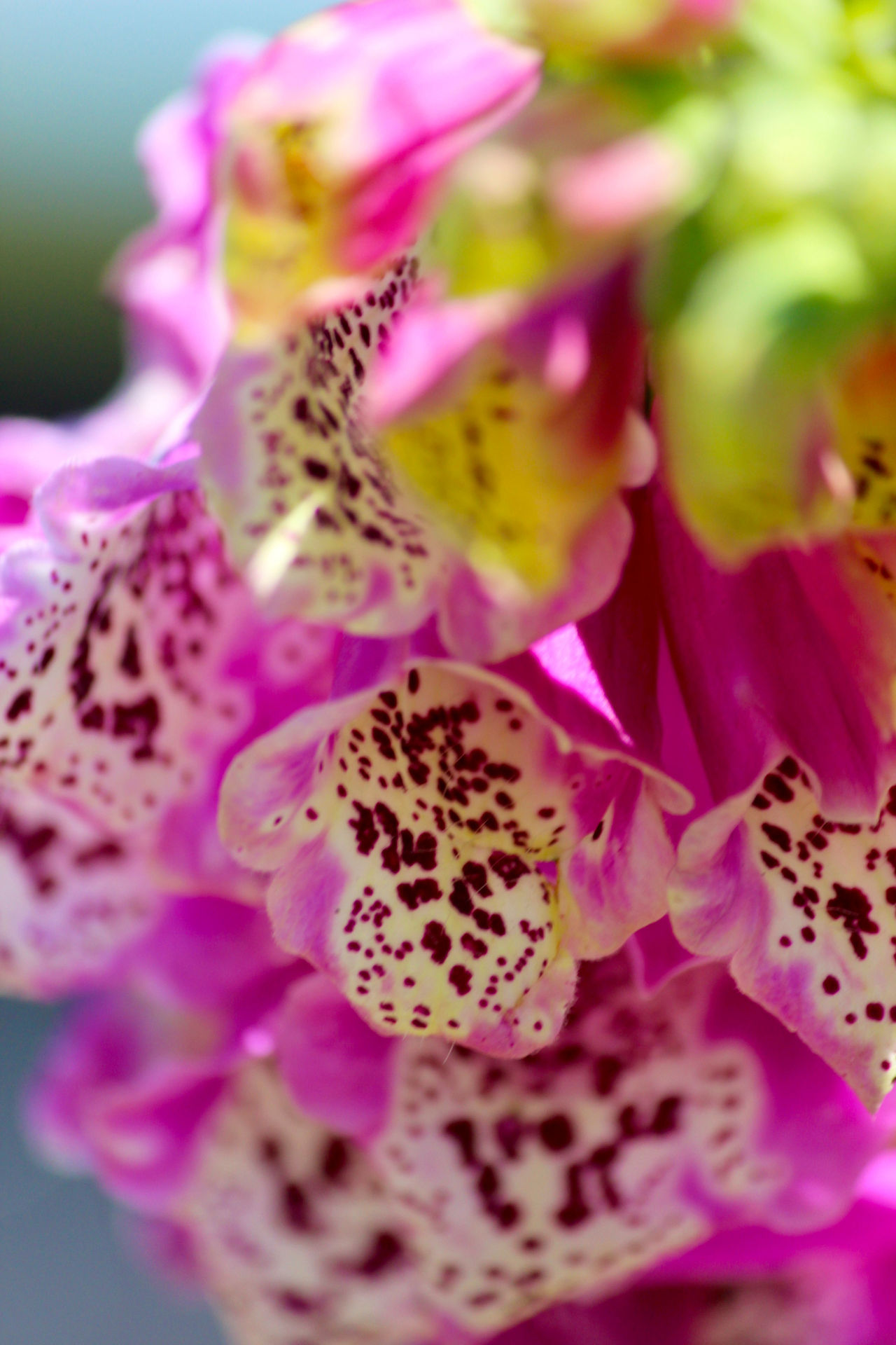 Beauty In Nature Botany Close-up Flower Flower Head Foxglove Fragility Freshness Growth Nature Petal Pink Color Plant Selective Focus