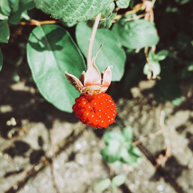Wild Strawberry Streetphotography Check This Out My Favorite Photo Still Life IPhoneography Red Light And Shadow