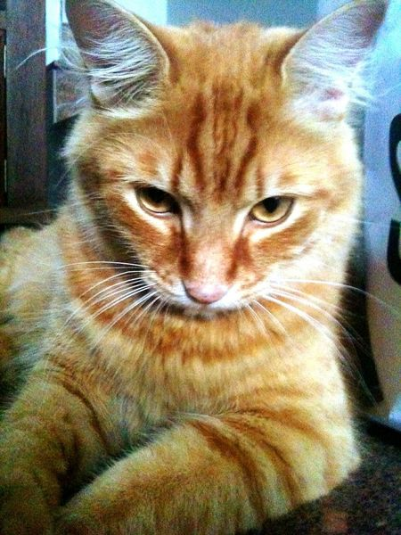 Cat Gato Yellowcat Pet Iphone3g Kitten