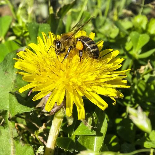 Springtime Bee Mothernature Nature Photography NaturepornYellow Flower Nature Animal Themes Insect Plant Animals In The Wild Beauty In Nature Fragility Growth One Animal Petal Freshness Flower Head Animal Wildlife Pollen Pollination Close-up Outdoors No People