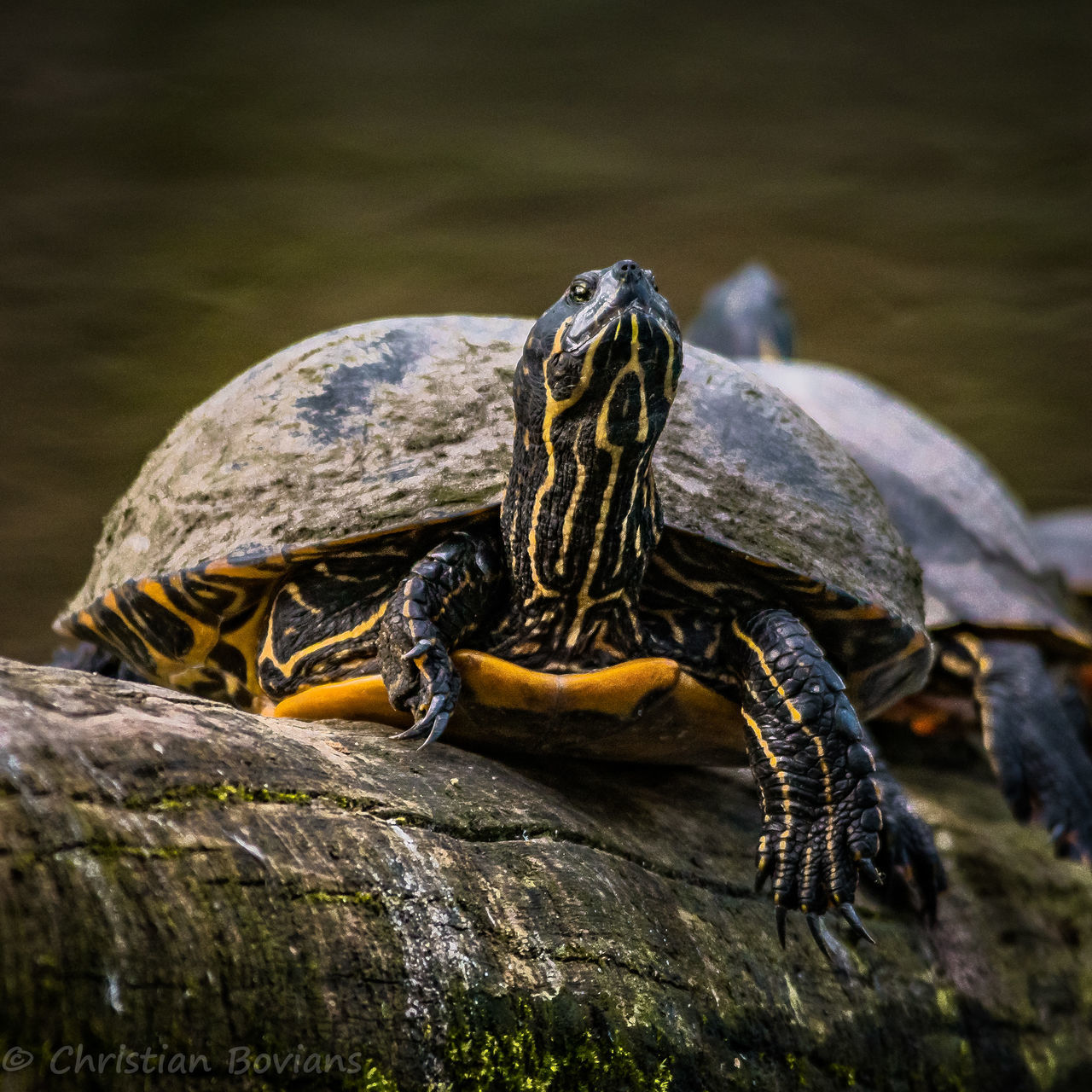 Turtle Reptile Animal Wildlife Animals In The Wild No People Outdoors Water Tortoise Close-up Tortoise Shell Nature Sigma18-300contemporary Sigma Sonyimages Sonyalpha6500 Day Standing Water Schlosspark Sigma Contemporary
