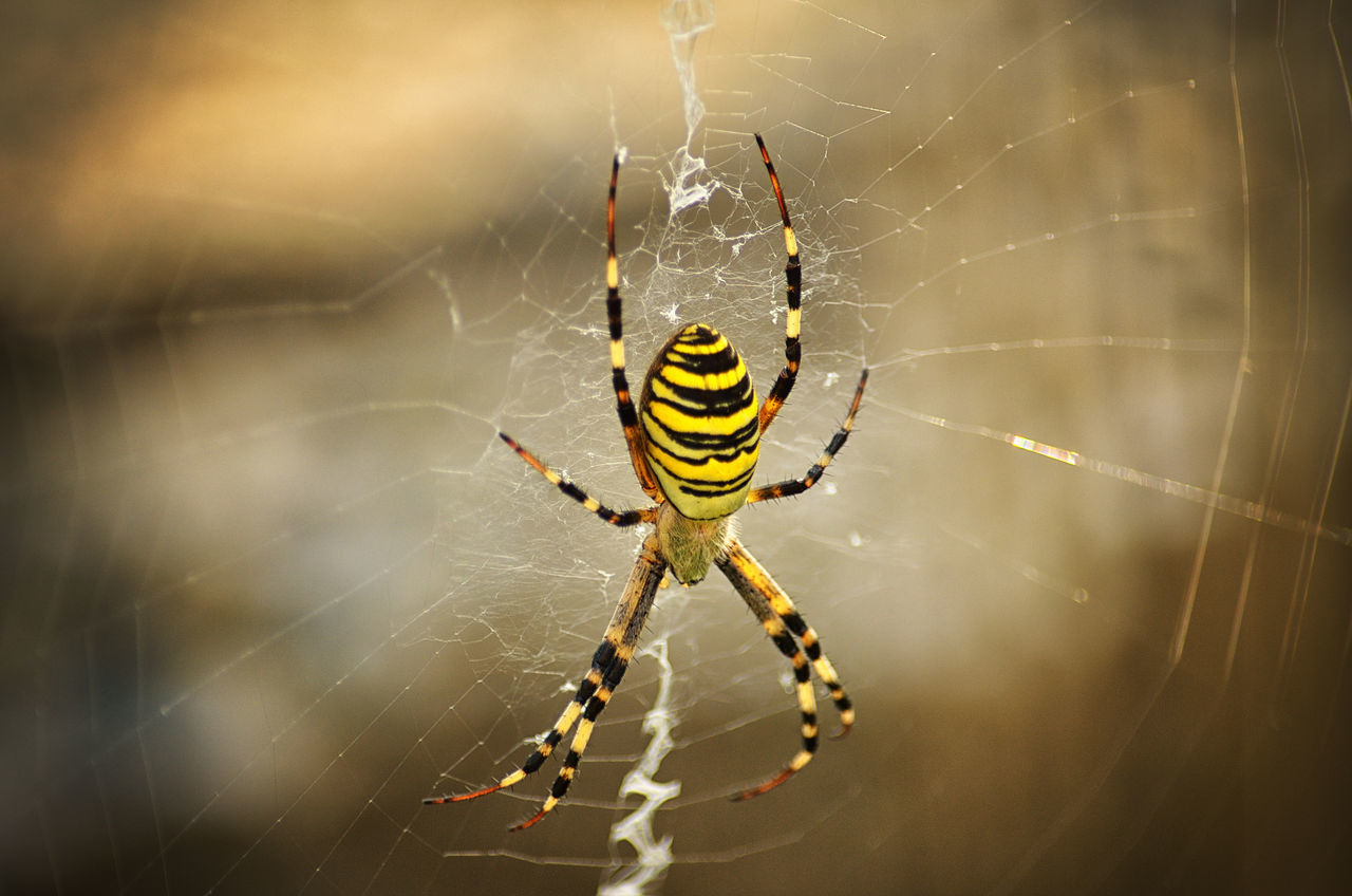 Beautiful stock photos of spinnen, Animal Themes, Animals In The Wild, Close-Up, Day