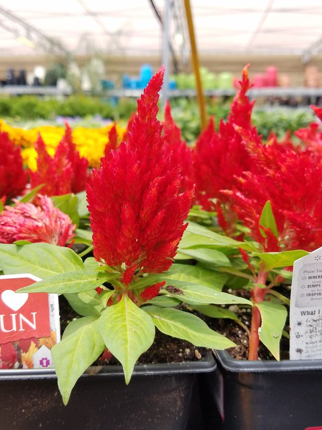 Not sure the name but beautiful! Plant Nature Ujustgotkaied Garden Flowers Red Pointy