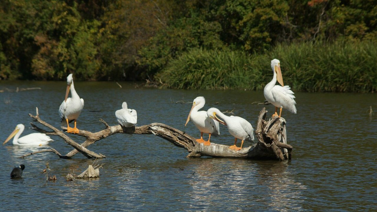 Animals Wildlife & Nature Wildlife Photography Lake Pelicans Scenery Taking Photos Photo Of The Day Dallas Tx White Rock Lake