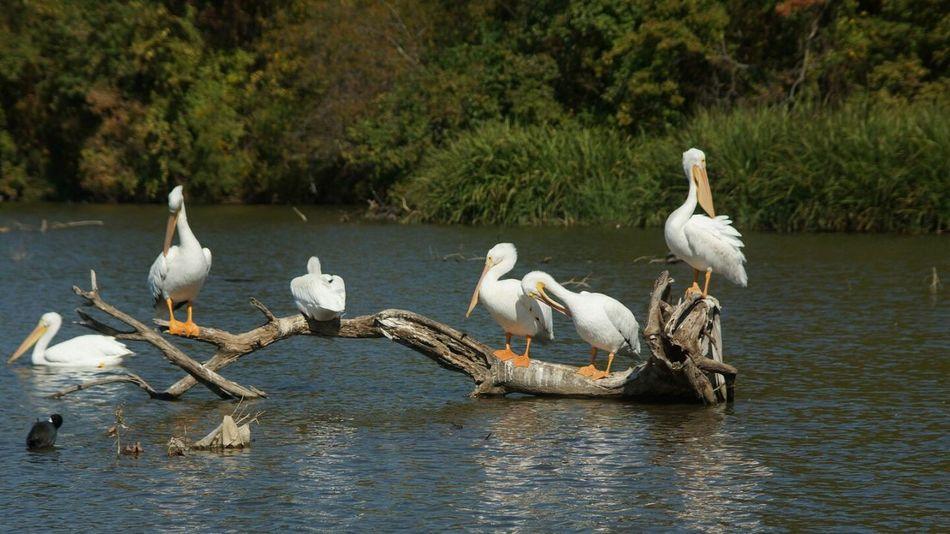 Animals Wildlife & Nature Wildlife Photography Lake Pelicans Scenery Taking Photos Photo Of The Day Dallas Tx White Rock Lake