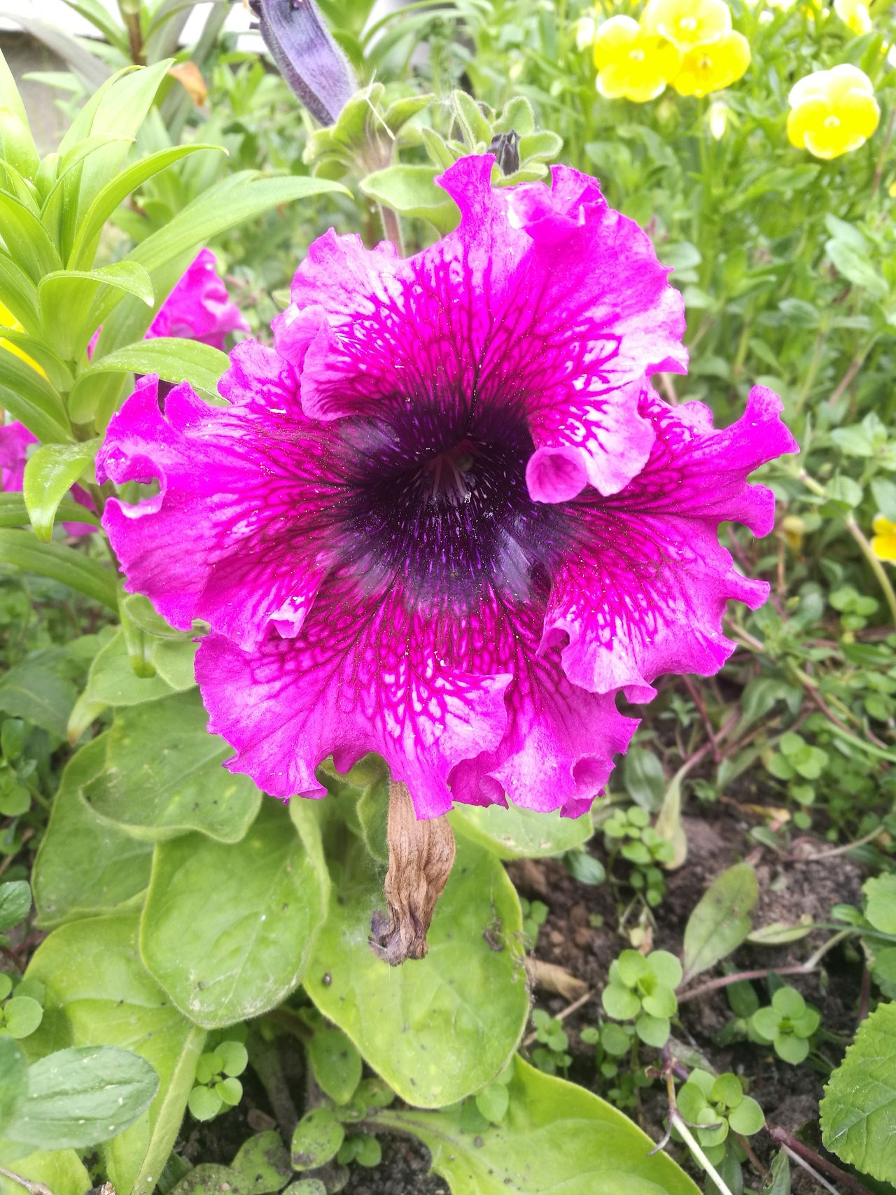 Flower Fragility Plant Nature Growth Petal Beauty In Nature Freshness Day Flower Head Outdoors Purple No People Close-up Blooming Petunia