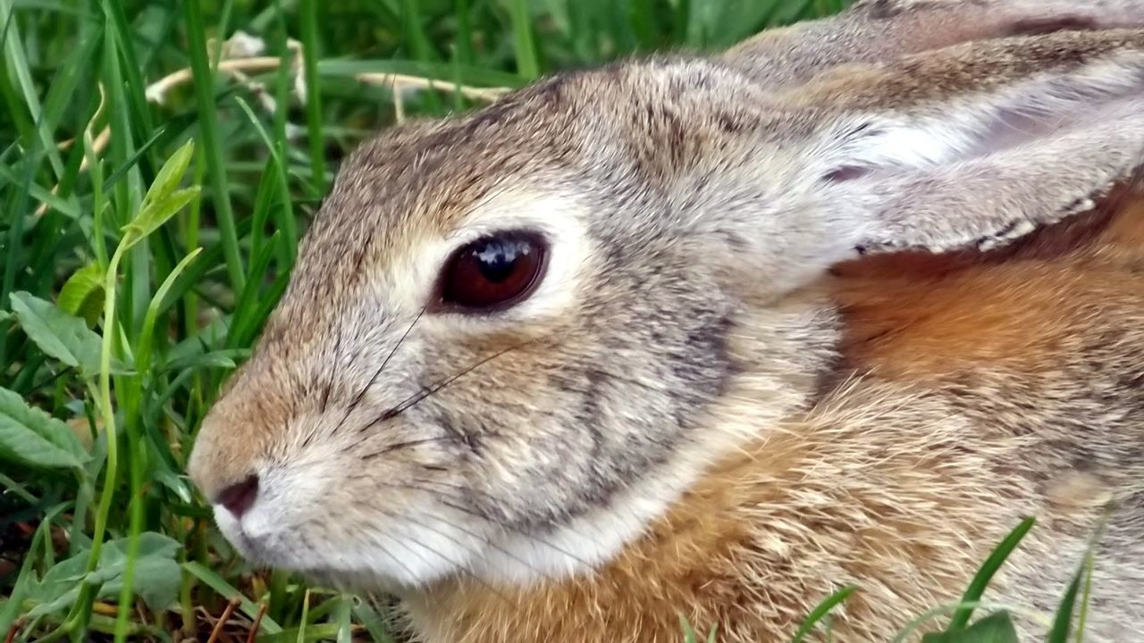 Cottontail Wild Rabbit Mammal Closeup Rabbit Eyes Rabbit Rabbit Ears Rabbit Portrait Rabbit In My Yard Rabbit Faces Rabbits One Animal Nature Makes Me Smile Nature Collection No People Close‐up Photography Closeup In Nature Wild Animals Up Close Wild Animal Photography Wild Animal Wild Animal Friends Cute Bunny Bunny Rabbits Bunny  Nature Around Me Whiskers