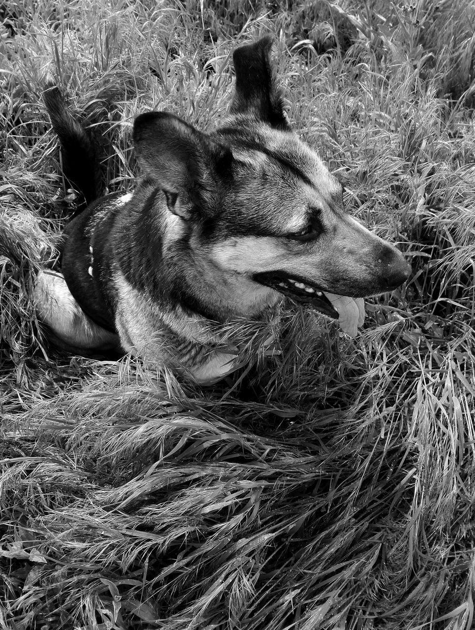 animal themes, dog, domestic animals, grass, one animal, mammal, pets, day, no people, outdoors, close-up, nature