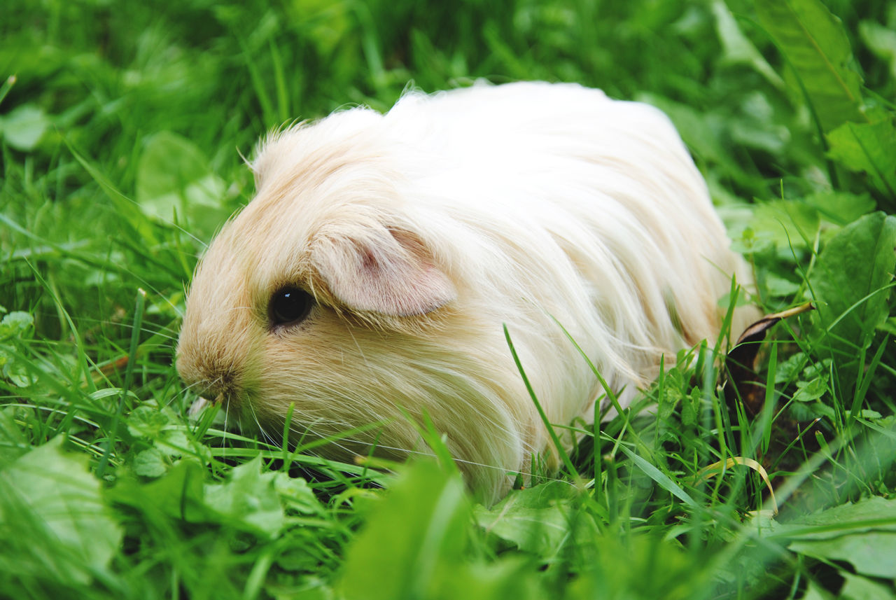 Animal Themes Animals Close-up Cute Day Domestic Animals Field Flowers Grass Green Green Color Guinea Pig Instagood Lovely Nature Nikon No People Pets Picoftheday Portrait Rodents Zoology