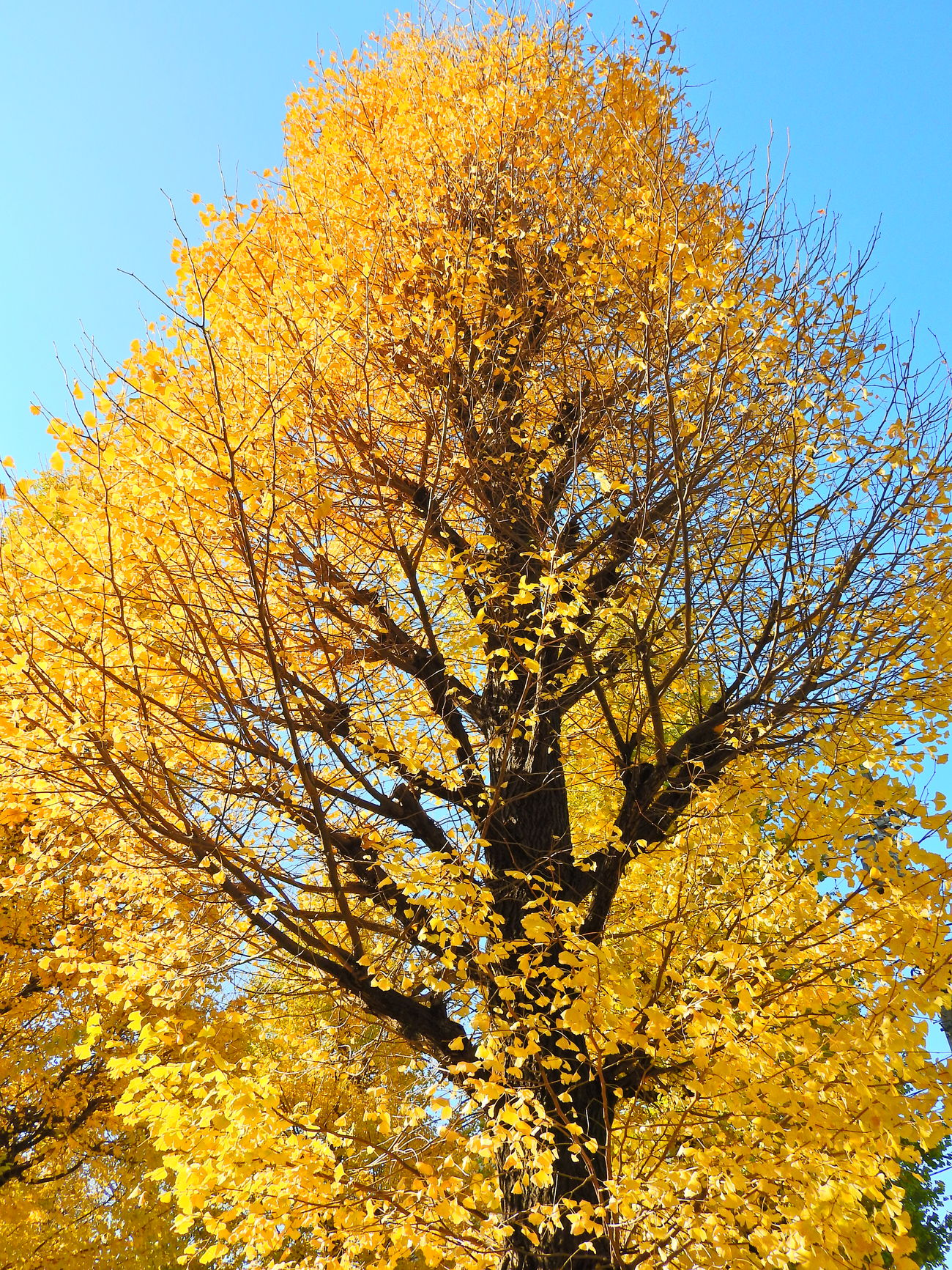 Ginkgo trees Beauty In Nature Branch Close-up Day Growth Low Angle View Nature No People Outdoors Sky Sunlight Tranquility Tree Yellow