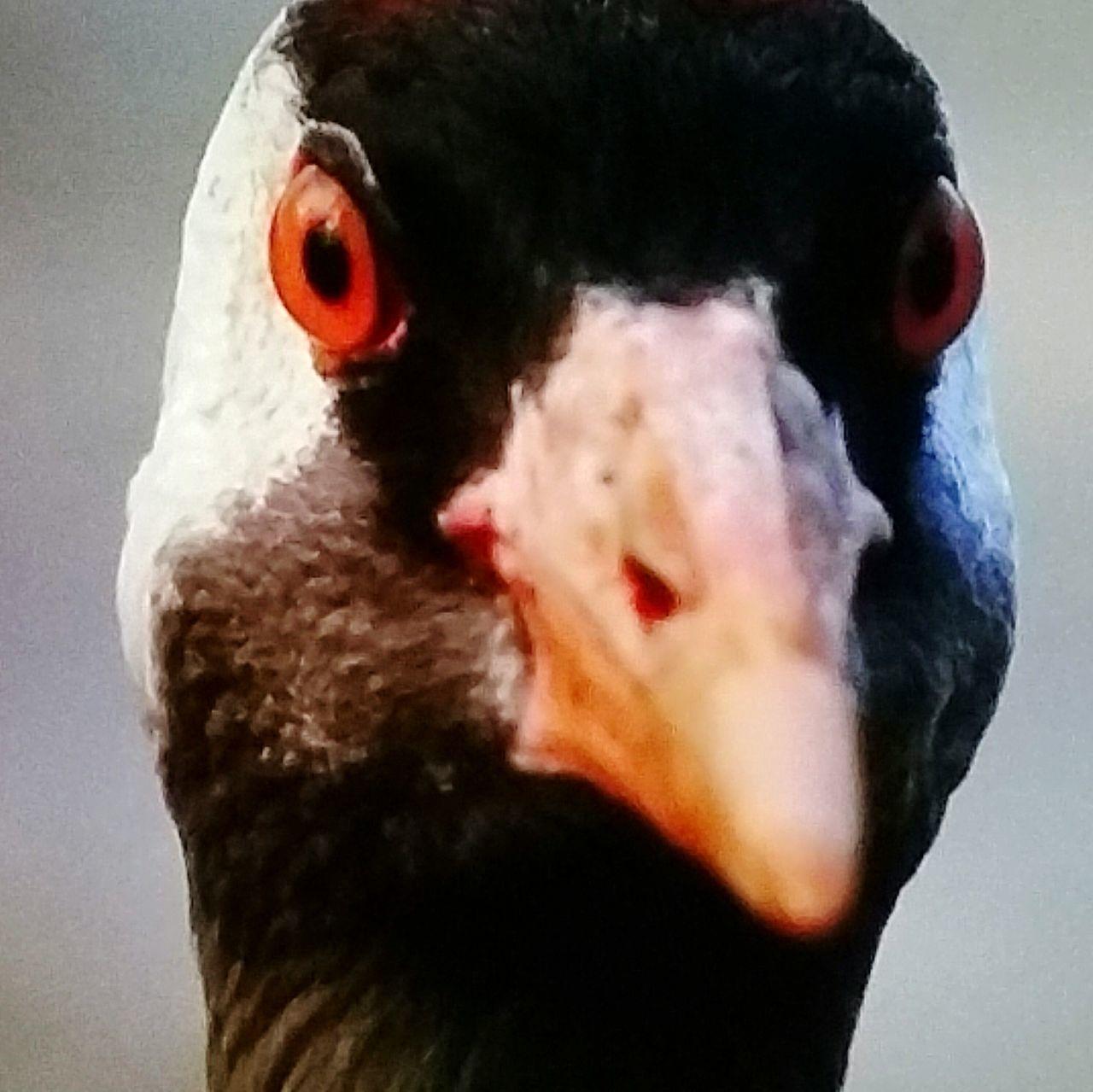 bird, one animal, beak, animal themes, animals in the wild, close-up, animal head, animal wildlife, no people, looking at camera, nature, day, portrait, outdoors, bird of prey