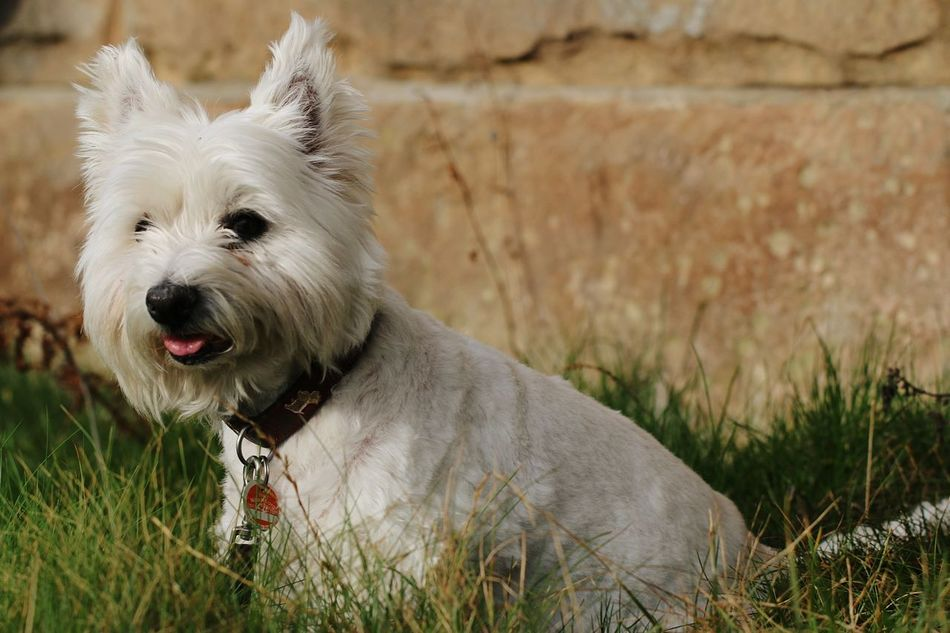 Animal Themes One Animal Animals In The Wild No People Outdoors Nature Day Yawning Grass Canon EOS 70D Dogs Of EyeEm DogLove Dog❤ Mydog Westies West Highland White Terrier West Highland Terrier Old Girl Terrier Goodgirl Pet Pet Photography  Pet Kira