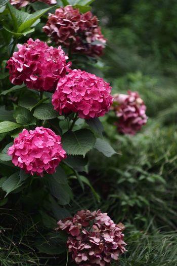 Oldlense Flowers Flower Hydrangea Flower