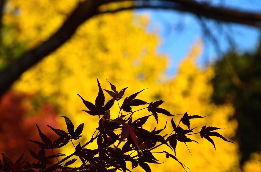 Autumn Leaf Growth Nature Yellow Branch Tree Outdoors Beauty In Nature No People Close-up Day Maple Photography Exceptional Photographs EyeEm Gallery