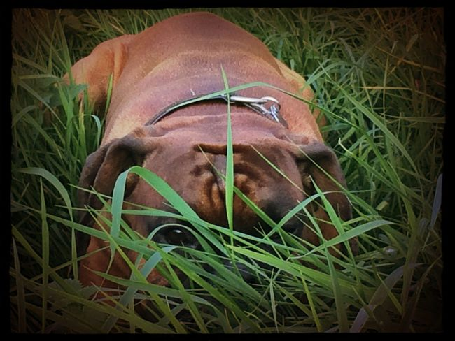 Boxer Dog Boxer Dogs Tadaa Community I Love My Dog i can see you ;)