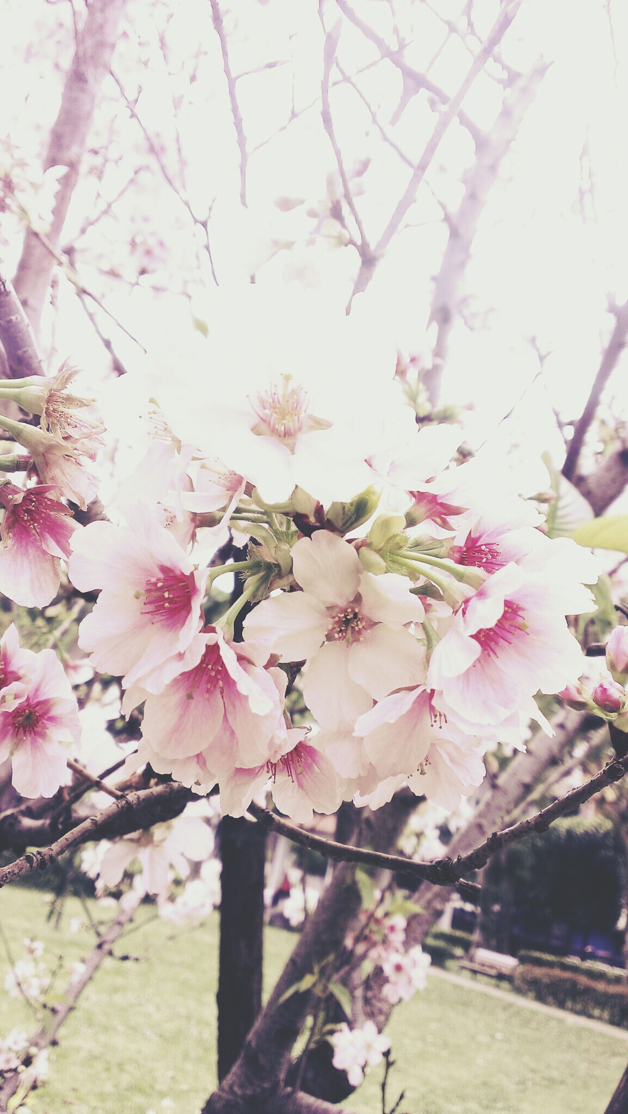 flower, freshness, fragility, branch, pink color, tree, growth, beauty in nature, blossom, cherry blossom, petal, nature, cherry tree, in bloom, blooming, springtime, low angle view, flower head, close-up, focus on foreground
