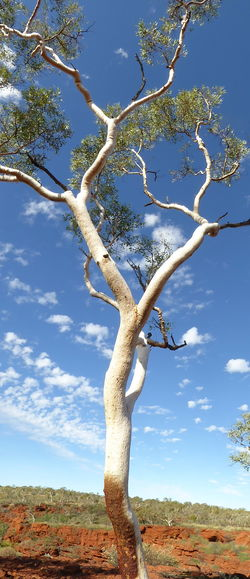 Australian Outback Beauty In Nature Branch Day Eucalyptus Ghost Gum Tree Nature Nature Reserve No People Outdoors Scenics Single Tree Sky Snappy Eucalyptus Tree Tree Trunk Twisted Branches