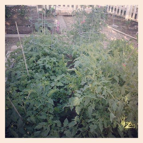 Tomatoes Heirlooms Cherry Mrstripey Roma