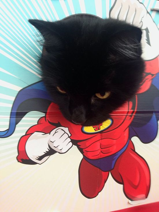 Supercat! Feline Kitty Pet Photography  Cats Of EyeEm Cat Pets Indoors  Domestic Animals One Animal Animal Themes Mammal