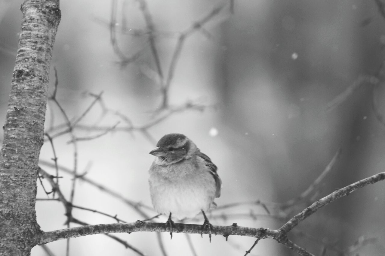 Winter Bird Tree Snow Cold Temperature Perching Animal Wildlife Branch Animals In The Wild One Animal Nature No People Tree Trunk Animal Animal Themes Outdoors Mourning Dove Beauty In Nature Close-up Day Central Park, New York Bird In Park Winter Love Chilling