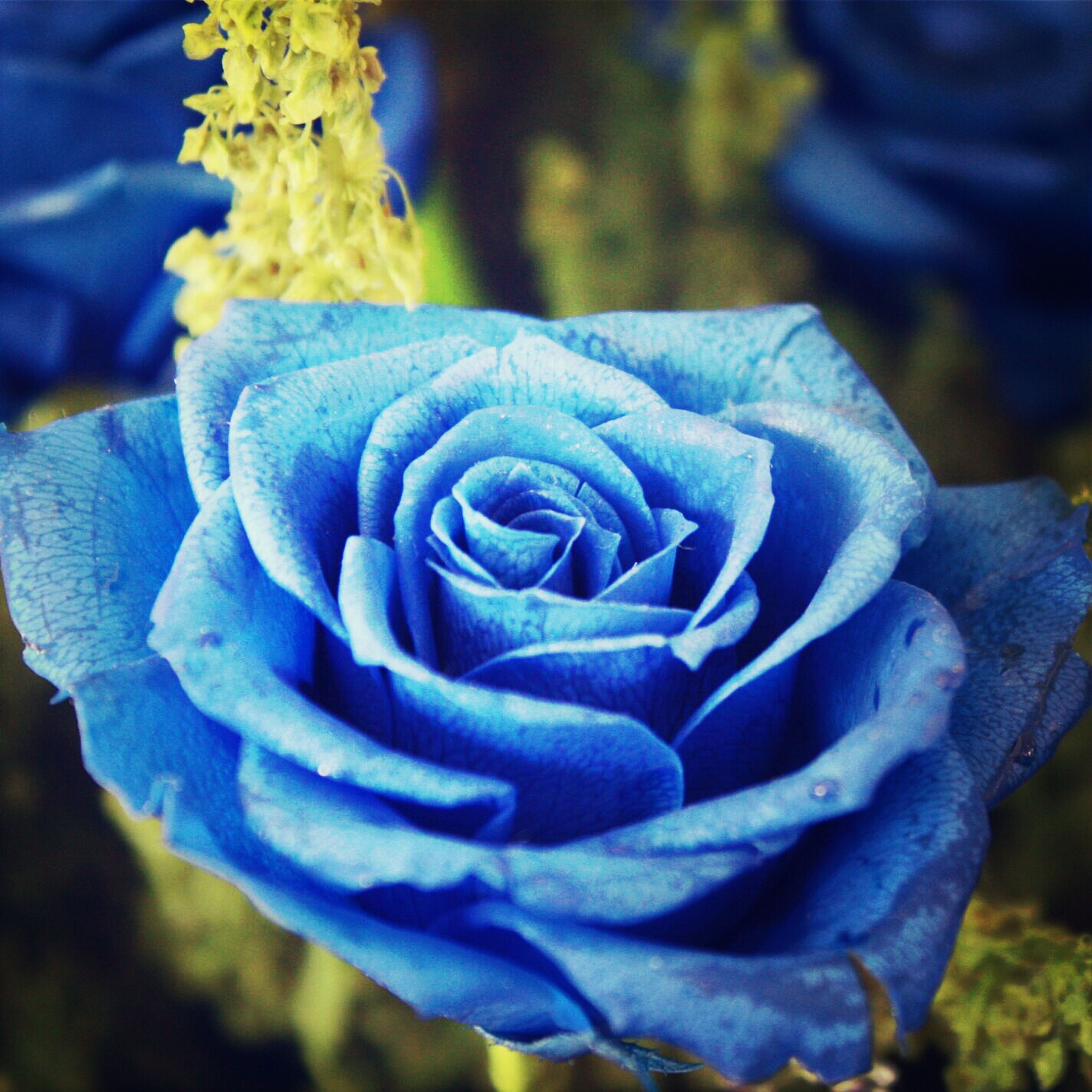 flower, petal, close-up, flower head, fragility, purple, focus on foreground, freshness, blue, growth, beauty in nature, plant, nature, single flower, blooming, outdoors, in bloom, no people, selective focus, day