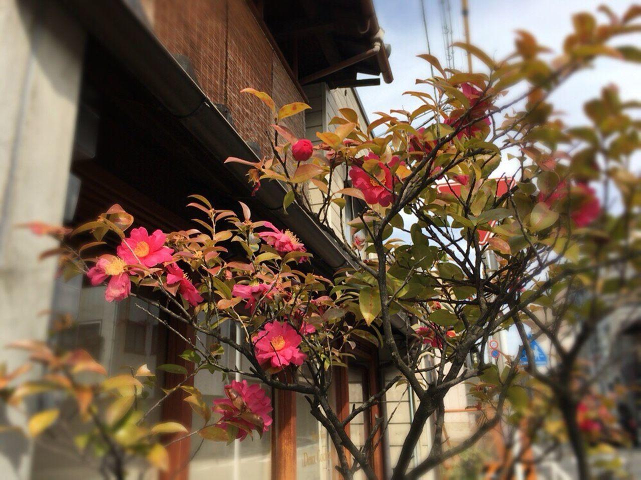 Camellia Sasanqua Kyoto Matiya Kyoto Street Flower Kyoto City Kyoto,japan Kyoto Street Bamboo Blind