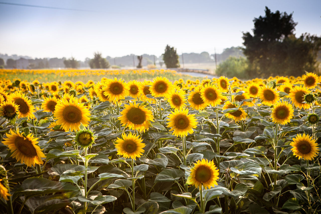 Beautiful stock photos of sunflower, Agriculture, Beauty In Nature, Close-Up, Day