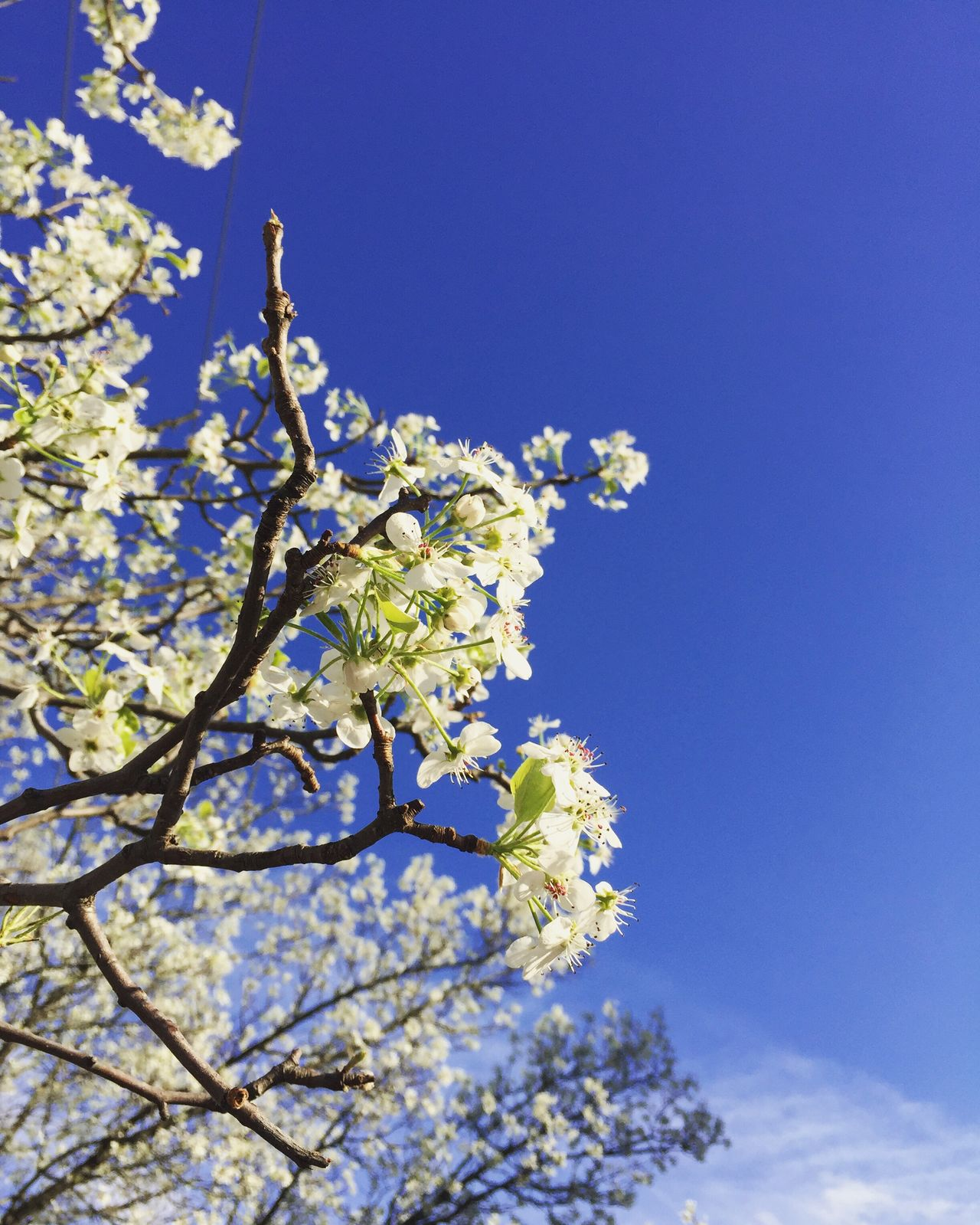 Tree Flower Blue Nature Growth Beauty In Nature Low Angle View Blossom Sky White Color Clear Sky Branch Springtime No People Fruit Tree Fragility Twig Close-up Freshness