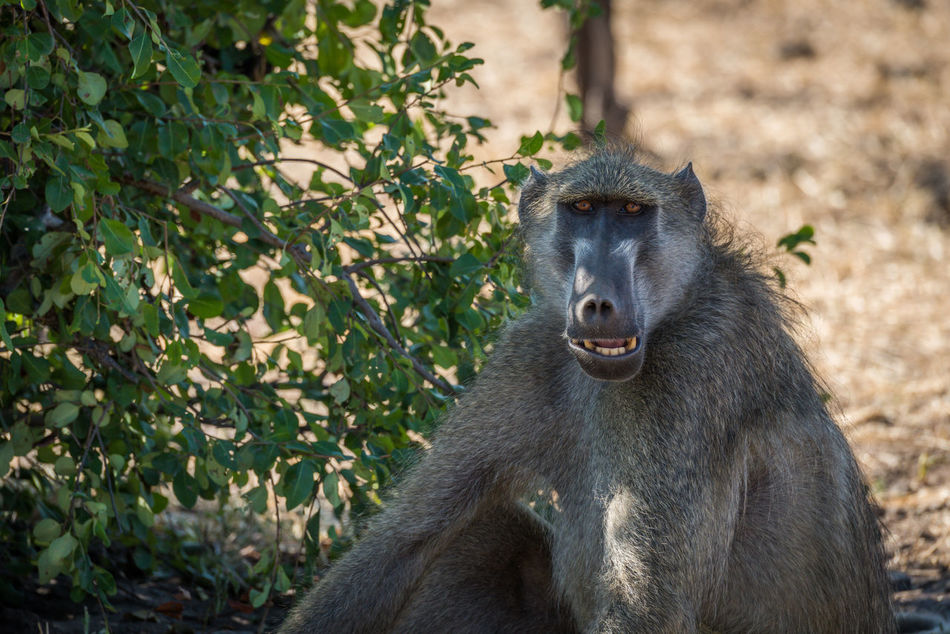 Beautiful stock photos of affe, Animal Themes, Animal Wildlife, Animals In The Wild, Botswana