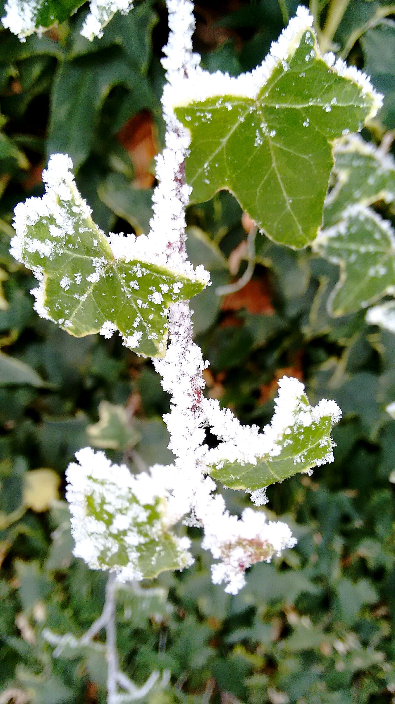 Nature Growth Plant Leaf Outdoors Beauty In Nature No People Flower Fragility Close-up Day Wintertime EyeEm Nature Lovers Winter Ivy Plant