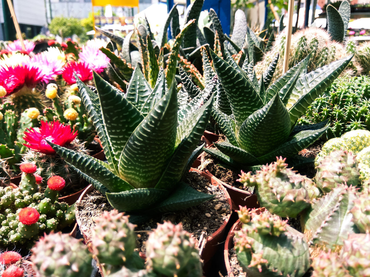 growth, cactus, plant, thorn, nature, green color, spiked, no people, outdoors, beauty in nature, day, sunlight, close-up, uncultivated, freshness, saguaro cactus, fragility, prickly pear cactus, flower