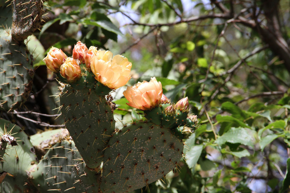 Heart Beauty In Nature Botany Flower Flowers Flowers, Nature And Beauty Focus On Foreground Green Color Growing Growth Heart Prickly Pear Mediterranean  Mediterranean Flowers Mediterranean Nature Nature Plant Prickly Pear Selective Focus