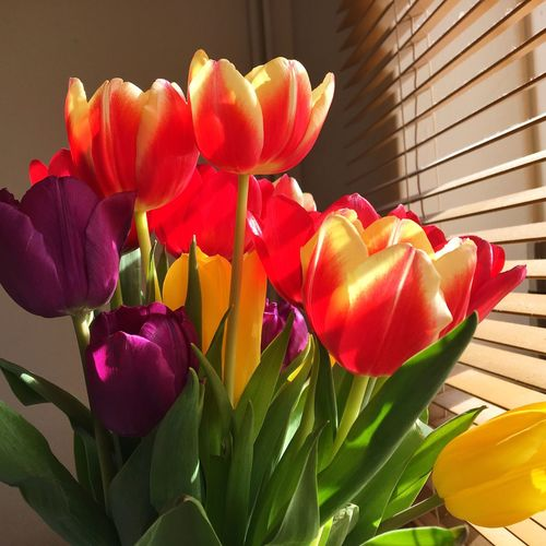 Flowers Tulips Colorful Lights Sunny Indoors  Warm